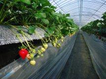 ひとつは高設(こうせつ)栽培。ちょうど腰くらいの高さにプランターのようなものを備え、中にはやしガラなどの繊維を入れてそこにいちご苗を植えていきます。作業もしやすく、水質、水温の管理がしやすいのが特徴です。ウイルスなどの心配も少なく、減農薬、無農薬での栽培がしやすいのも特徴です。
