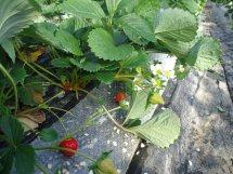 もうひとつは土耕(どこう)栽培。<br /> 特徴としては高設栽培の反対で温度管理も大変だし、ミネラル分(肥料分)の管理も大変です。<br /> が、やはり野菜、果物は土からできるもの。味も食べ比べてみればわかります。今回は無理をいいまして土耕のものをいただきました。