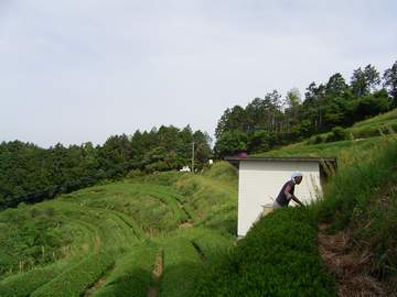 八女郡黒木町、といってもすぐそこは熊本県。道を下っていけば鹿本です。途中は携帯も圏外。<br /> 標高450mの山間の山頂付近に茶畑がひらいてあります。