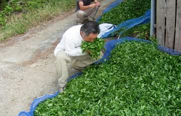 収穫直後の茶葉は、こうやって日陰で広げて風通しをよくしておきます。でないと、すぐ蒸れてきて発酵が始まりウーロン茶へなってしまいます(笑)<br /> <br /> 刈り立ての生茶葉の香りは、どことなくさくらんぼを思わせる甘い香りでした。5時間をすぎたあたりから少しづつお茶の香りがしてきます。